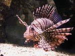 Cute Zebra lionfish