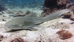 Cute Zebra shark