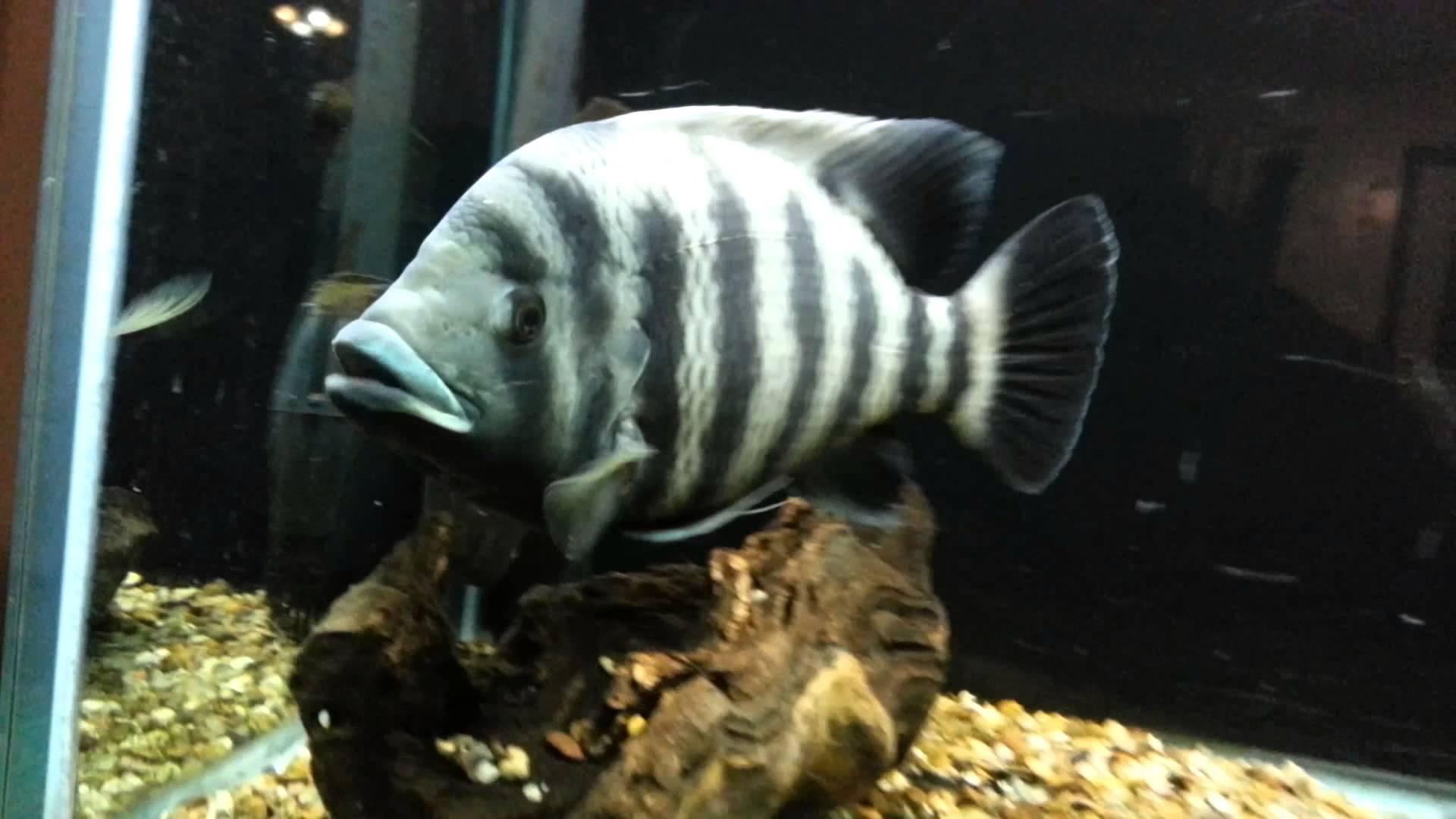 Zebra Tilapia : Cute Zebra tilapia photo and wallpaper. Cute Cute Zebra tilapia ...