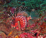 Cute Zebra turkeyfish