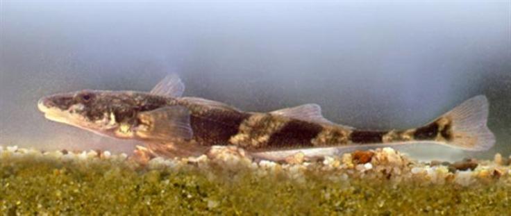 Cute Zingel fish wallpaper