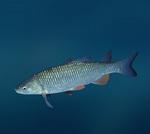 Елец(рыба) плывет