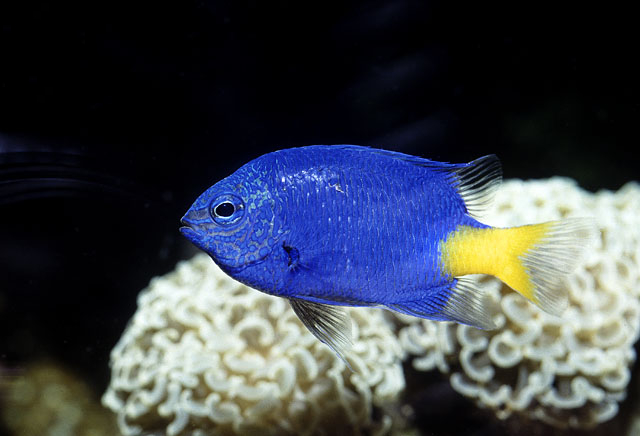 Damselfish swims wallpaper