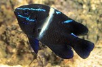 Dark Velvet catfish