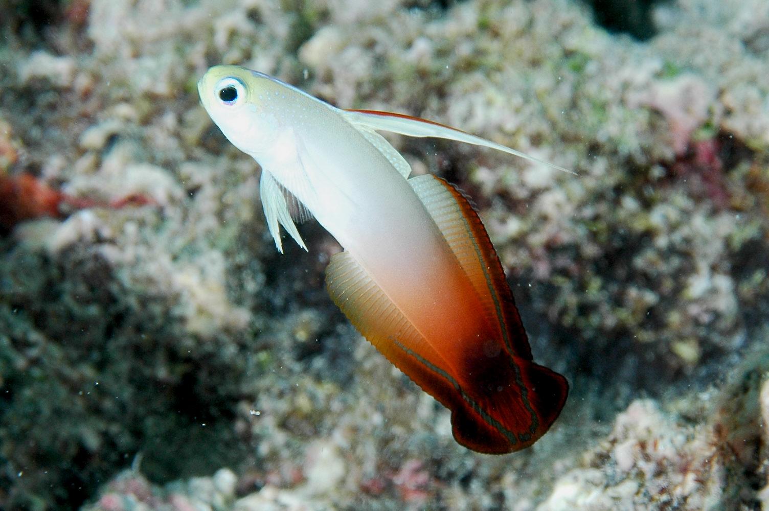 Dartfishes swin long wallpaper