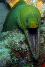 Decisive Yellow moray