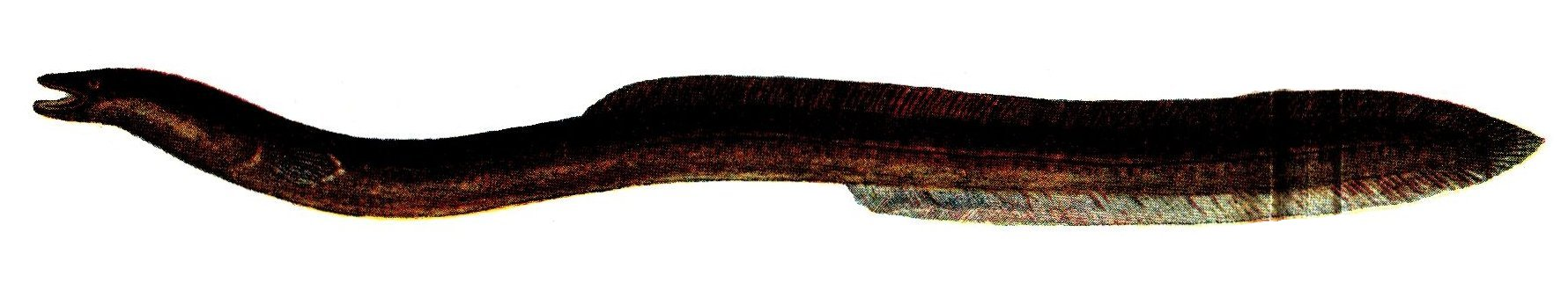 Deep sea eel wallpaper