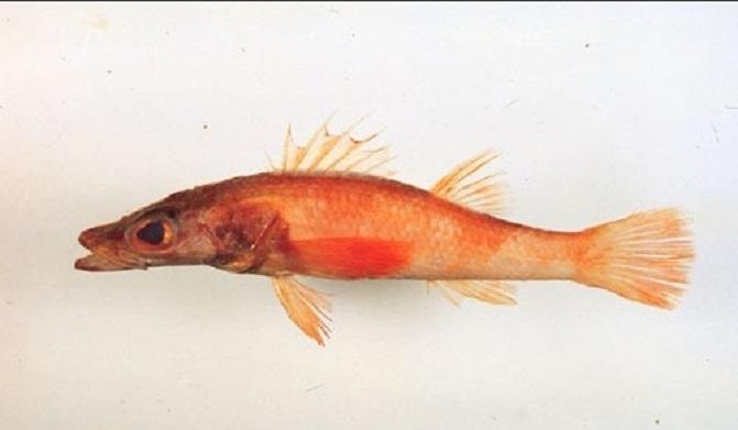 Плоская рыба фото