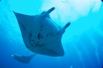 Devil ray in ocean