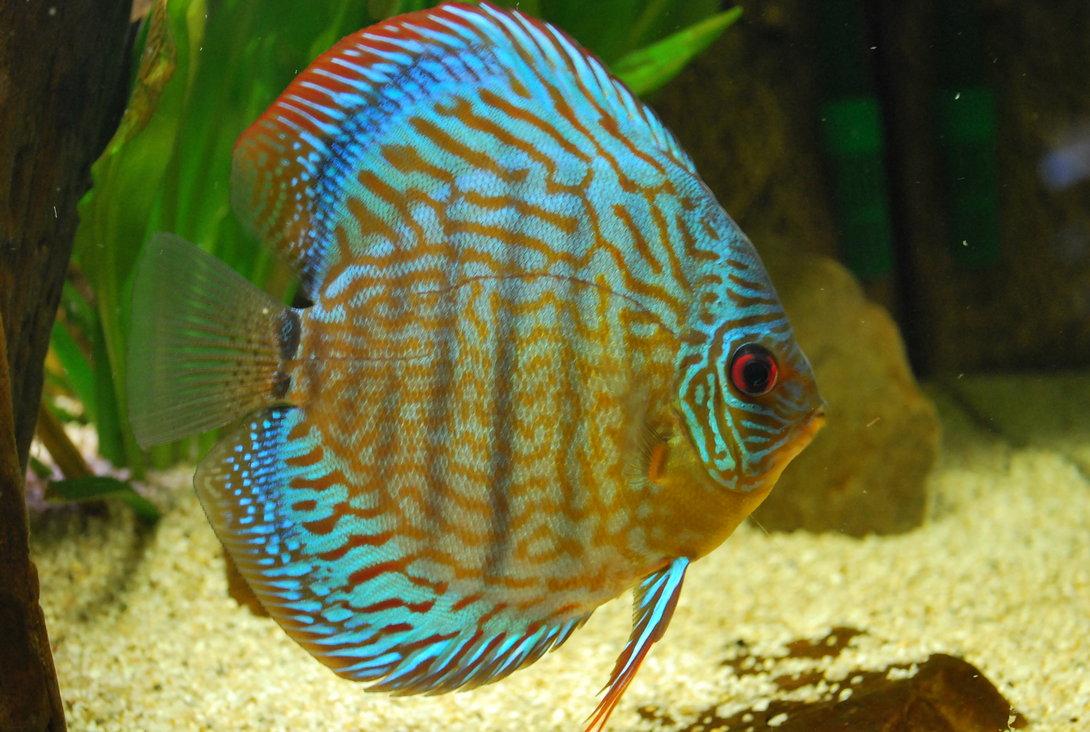 Discus in aquarium wallpaper