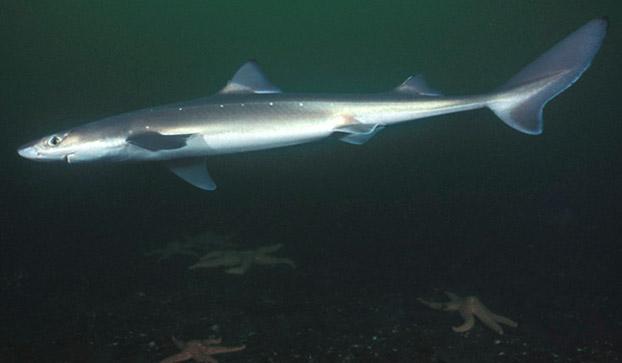 Dogfish shark in sea wallpaper