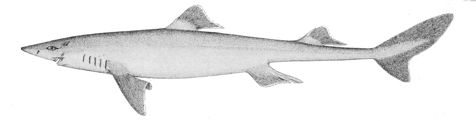 Dogfish shark wallpaper