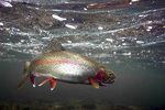 Dolly Varden trout in water