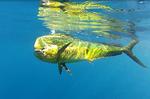 Dorado under water