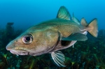 Down Atlantic cod