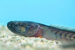 Dragon goby on the rocks