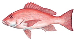 Drawing Red snapper