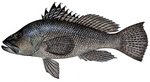 Drawing Sea bass