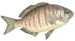 Drawing Surfperch