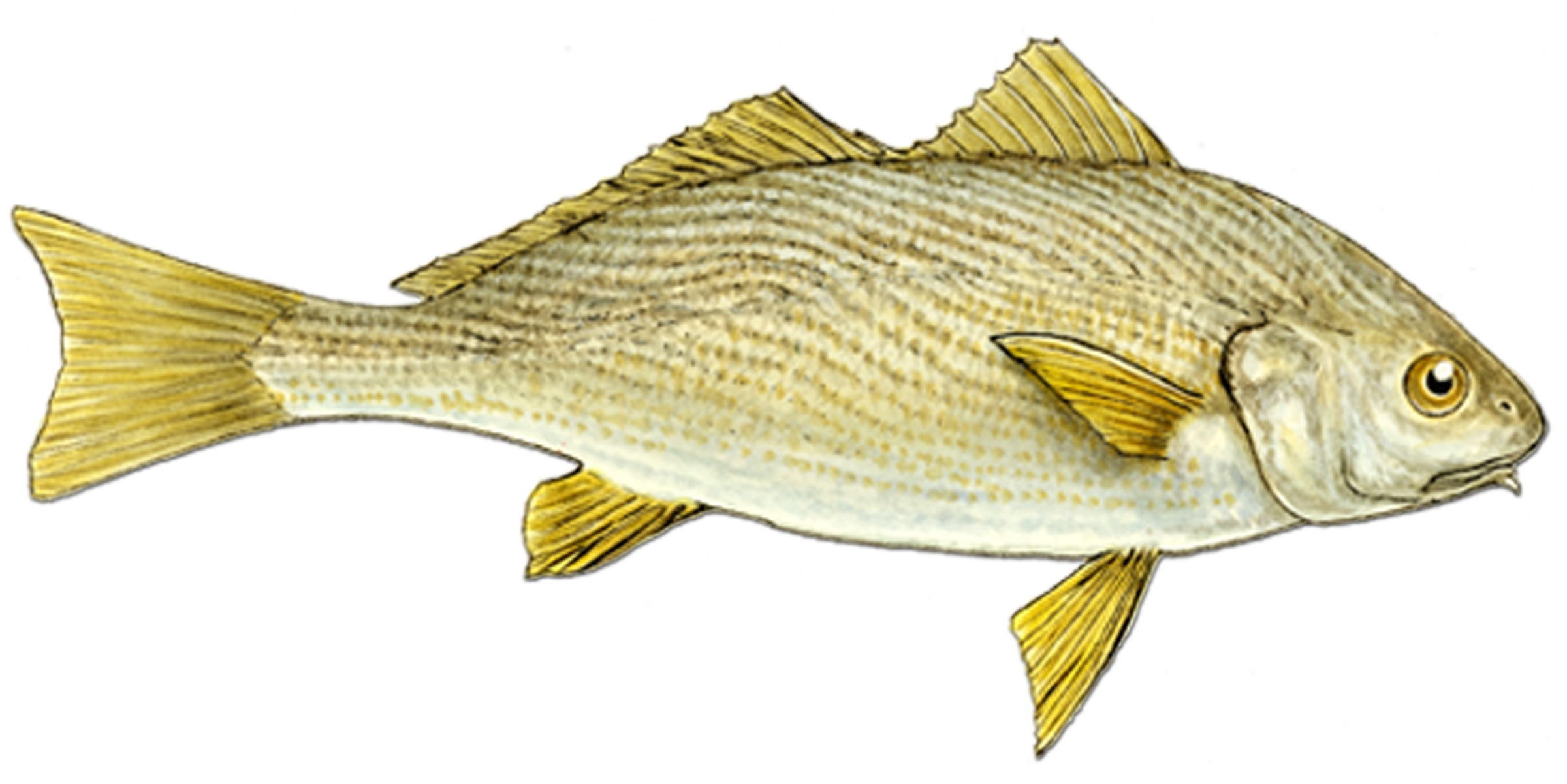 Drawing white croaker photo and wallpaper cute drawing for What is a croaker fish