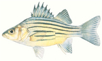 Drawing Yellow bass