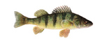 Drawing Yellow perch