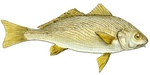 Drawing Yellowfin croaker