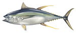 Drawing Yellowfin tuna