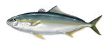 Drawing Yellowtail amberjack