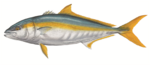 Drawing Yellowtail