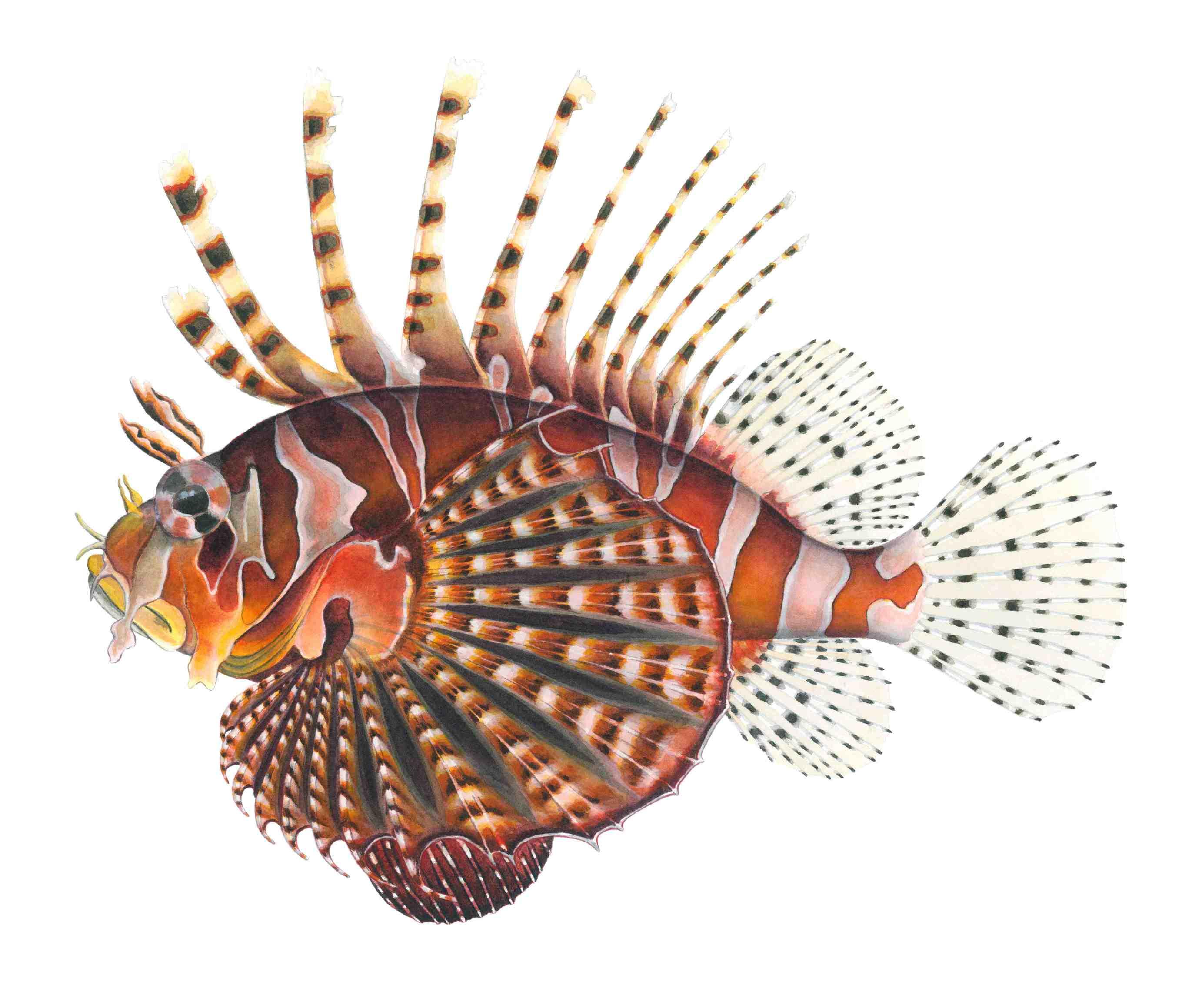 Drawing Zebra lionfish wallpaper