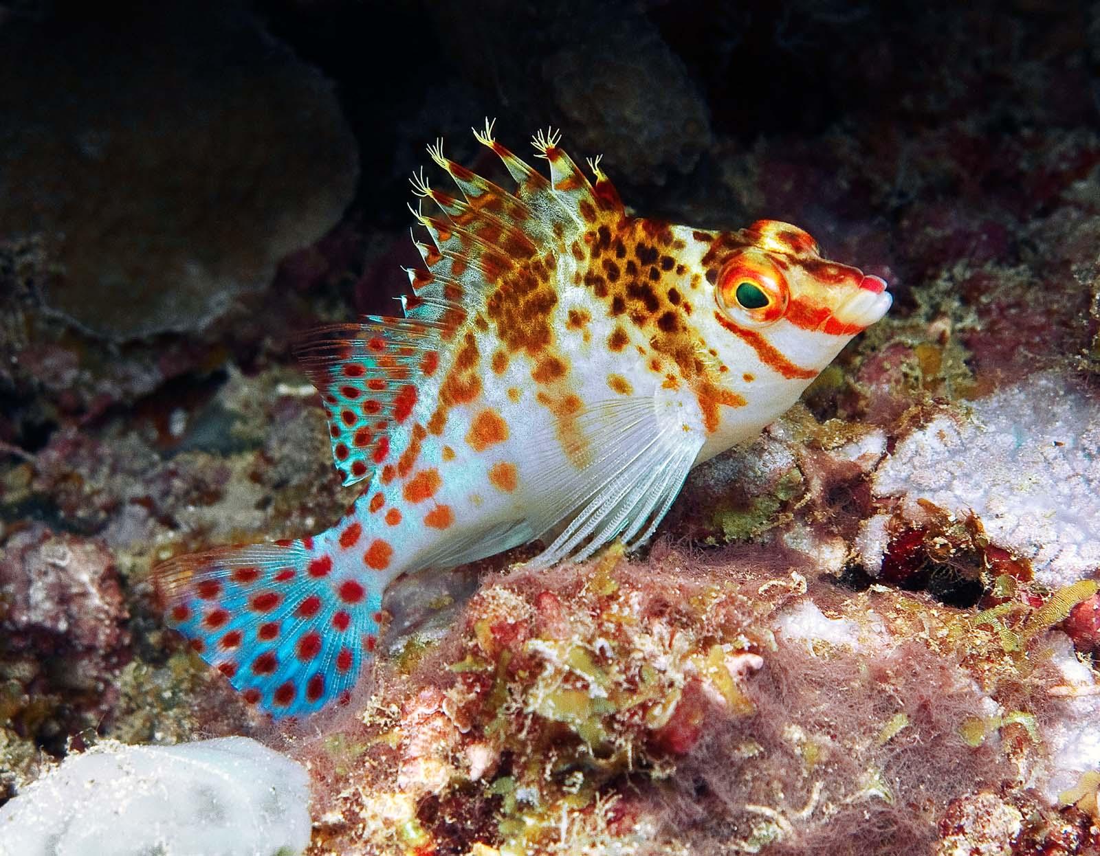 Карлик рыба-ястреб фото
