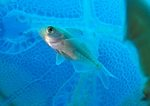 Driftfish