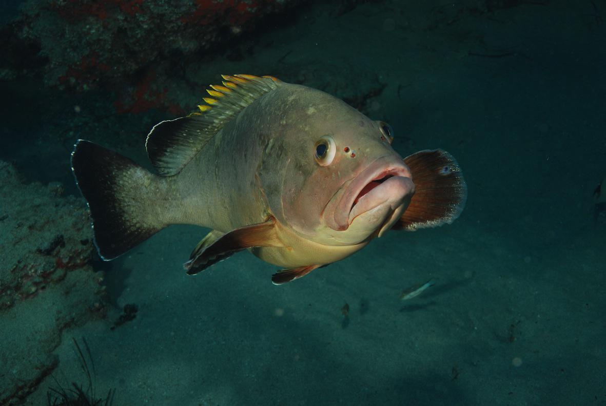 Dusky grouper swims wallpaper