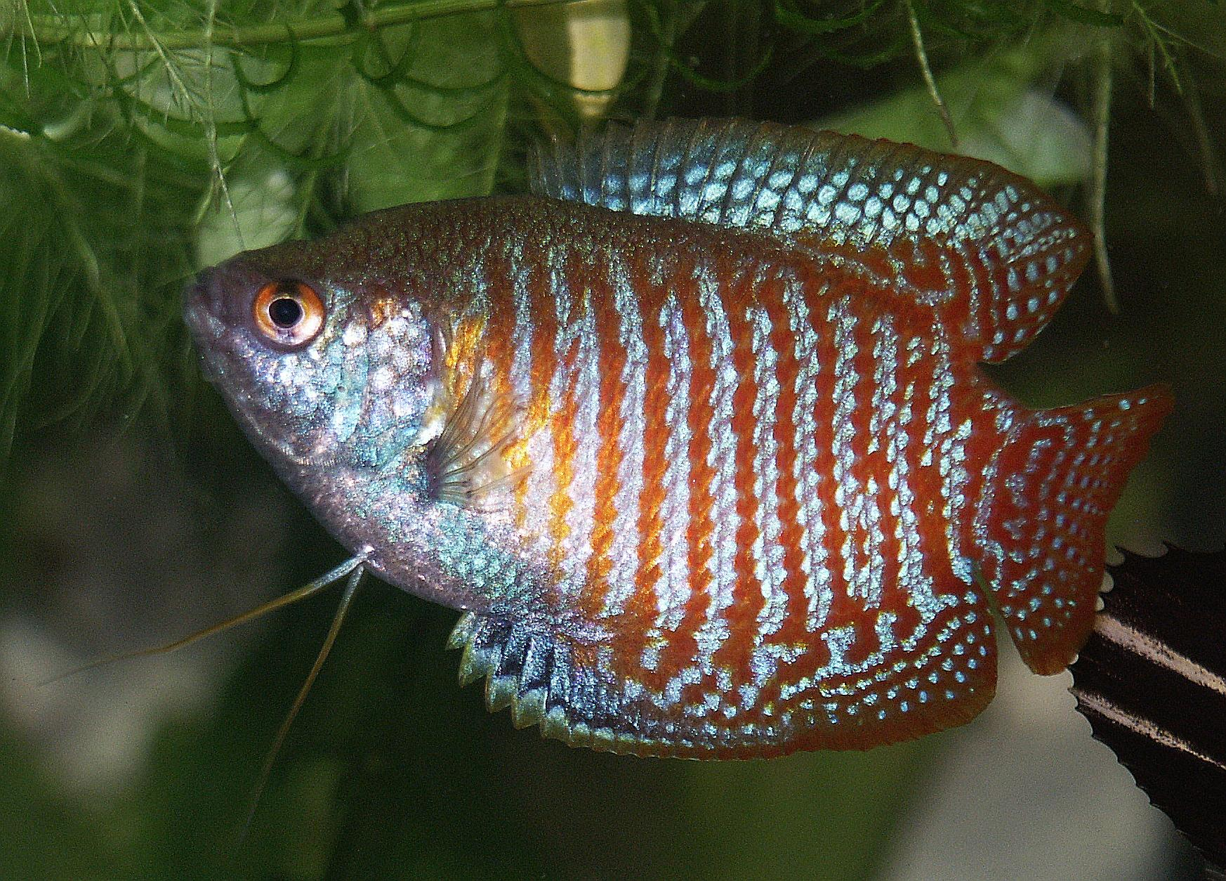 Dwarf gourami on thу glass wallpaper