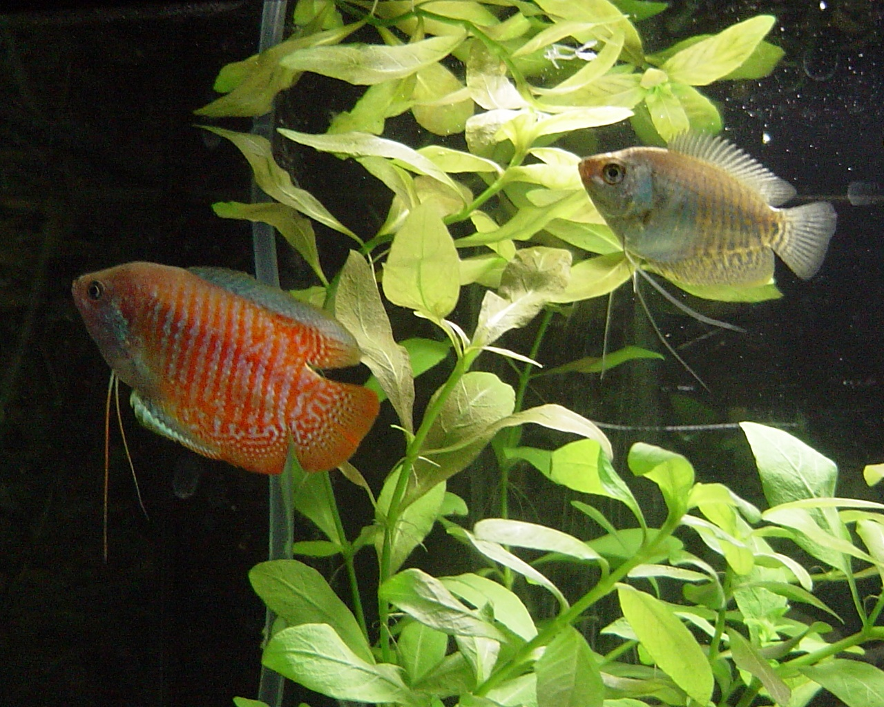 Dwarf gourami wallpaper