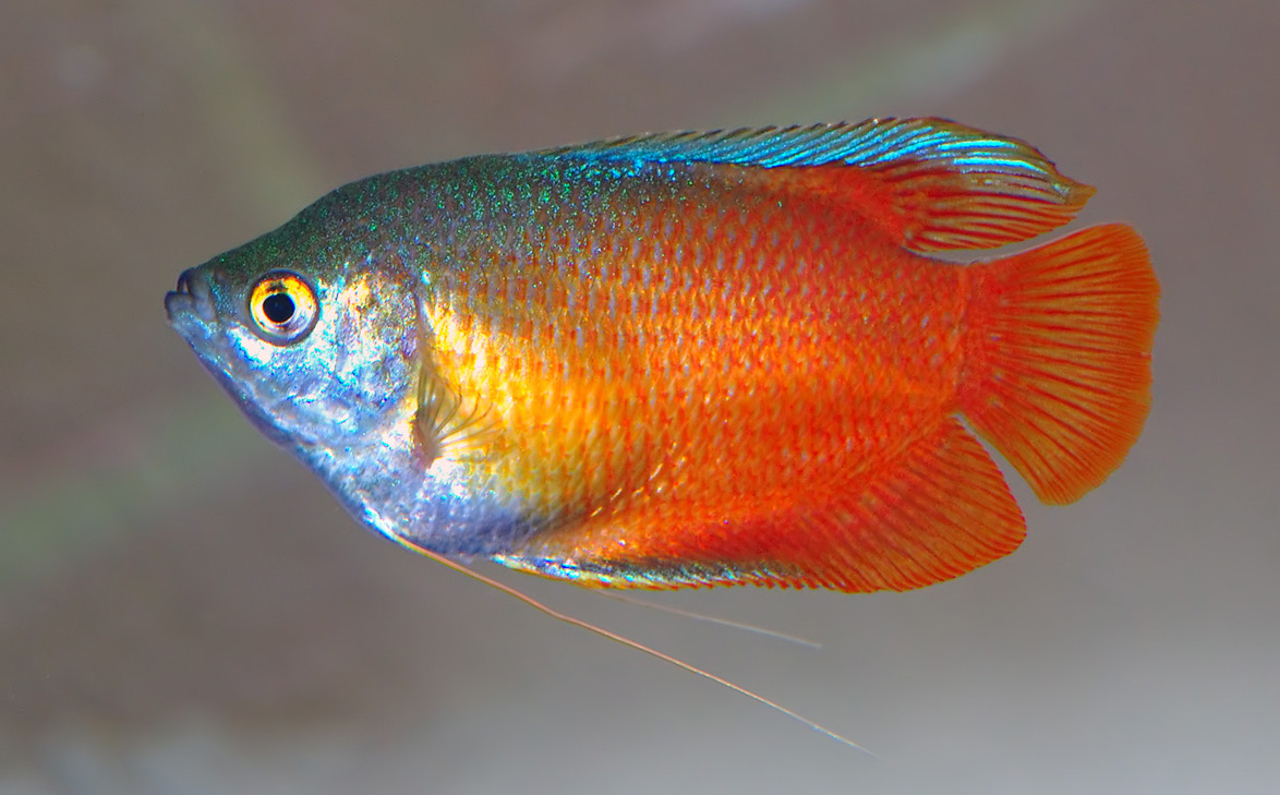 Dwarf gourami swims wallpaper