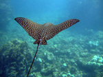 Eagle ray swiming