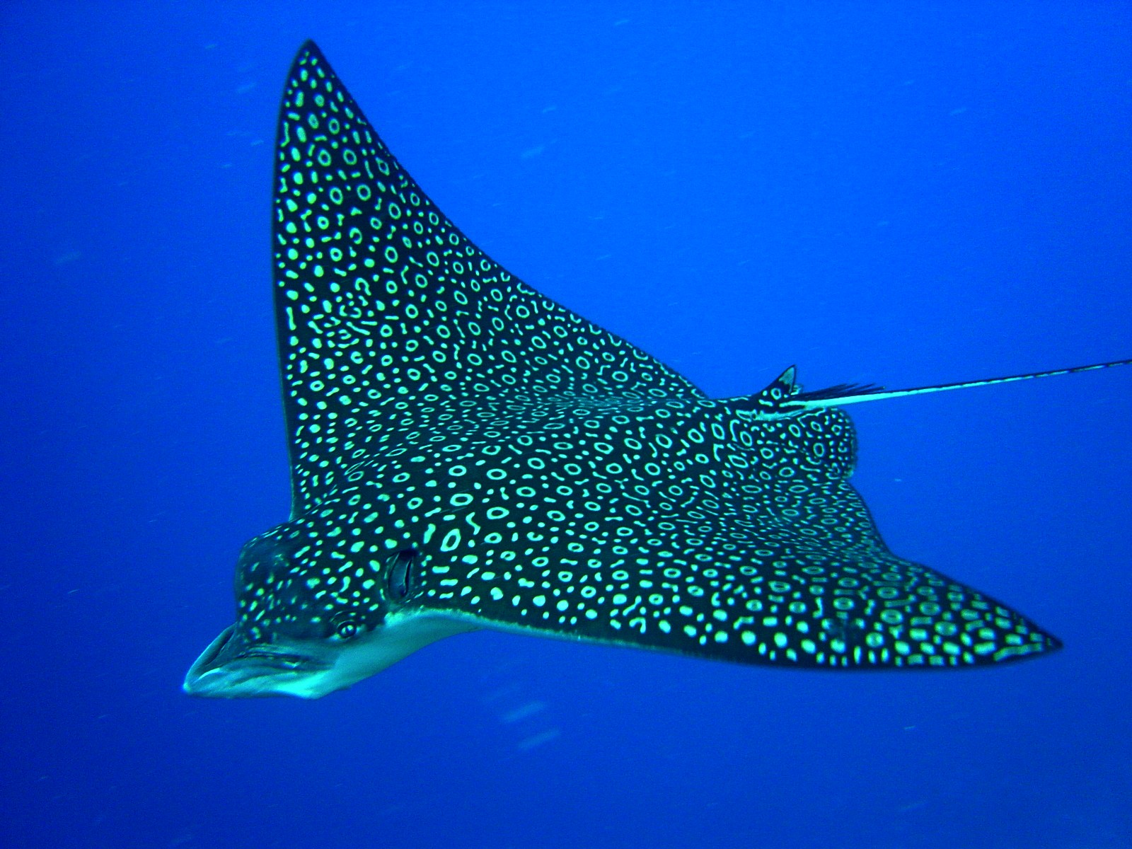 Eagle ray under water photo and wallpaper cute eagle ray for Sea ray fish