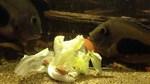Рыбы породы Уару едят