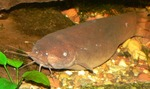 Electric catfish on the bottom