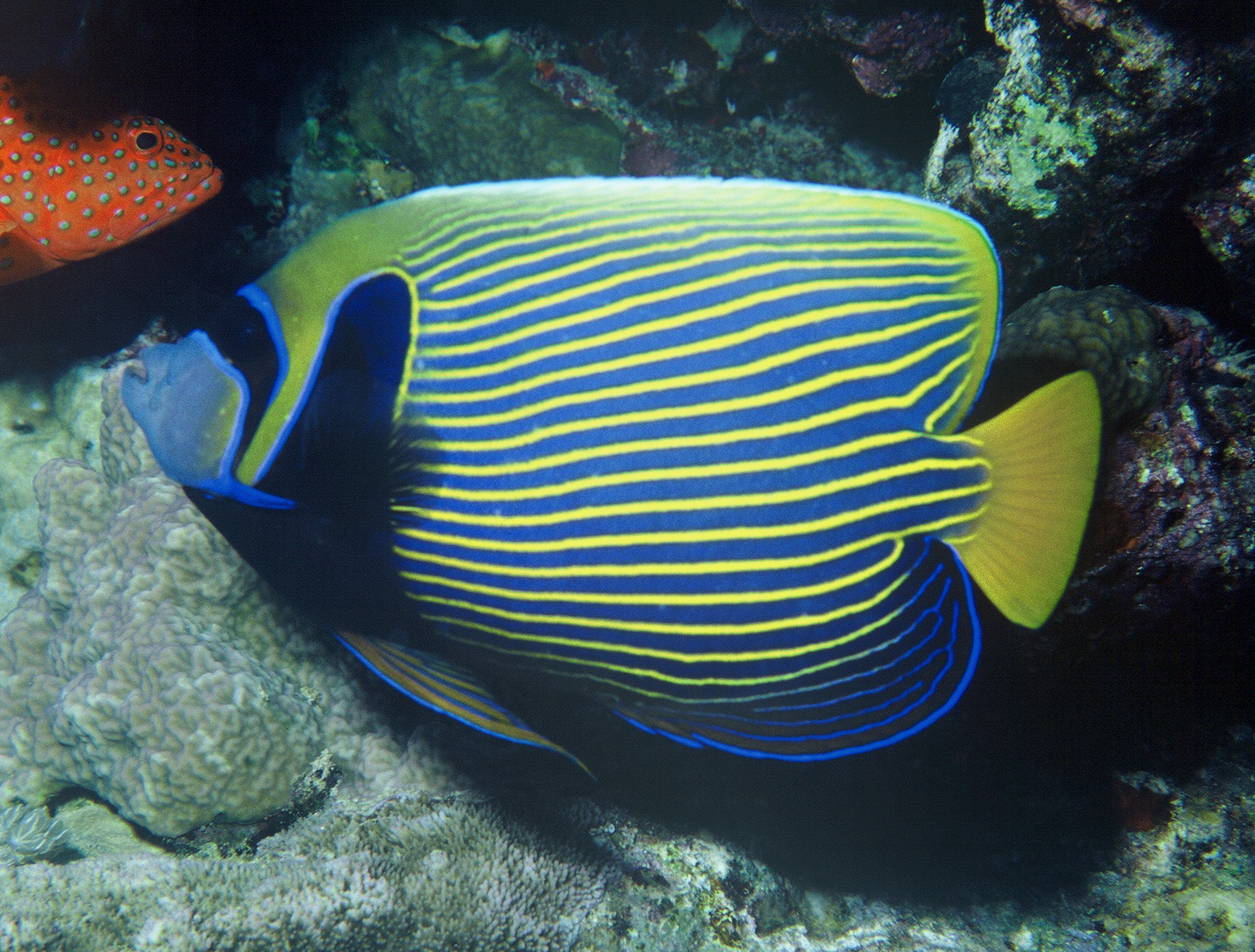 Emperor angelfish wallpaper