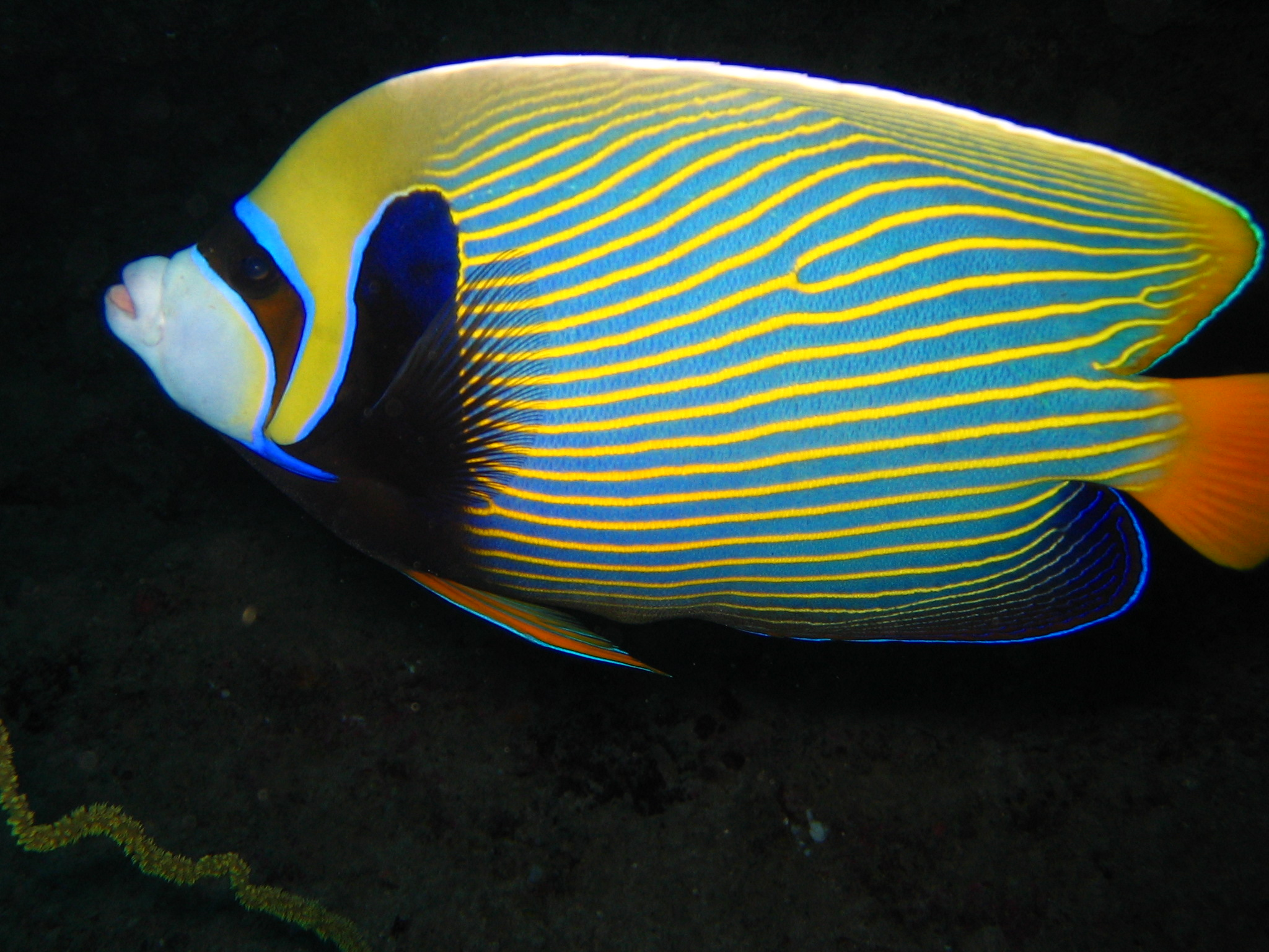 Emperor angelfish swims wallpaper