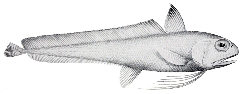 Eucla cod wallpaper