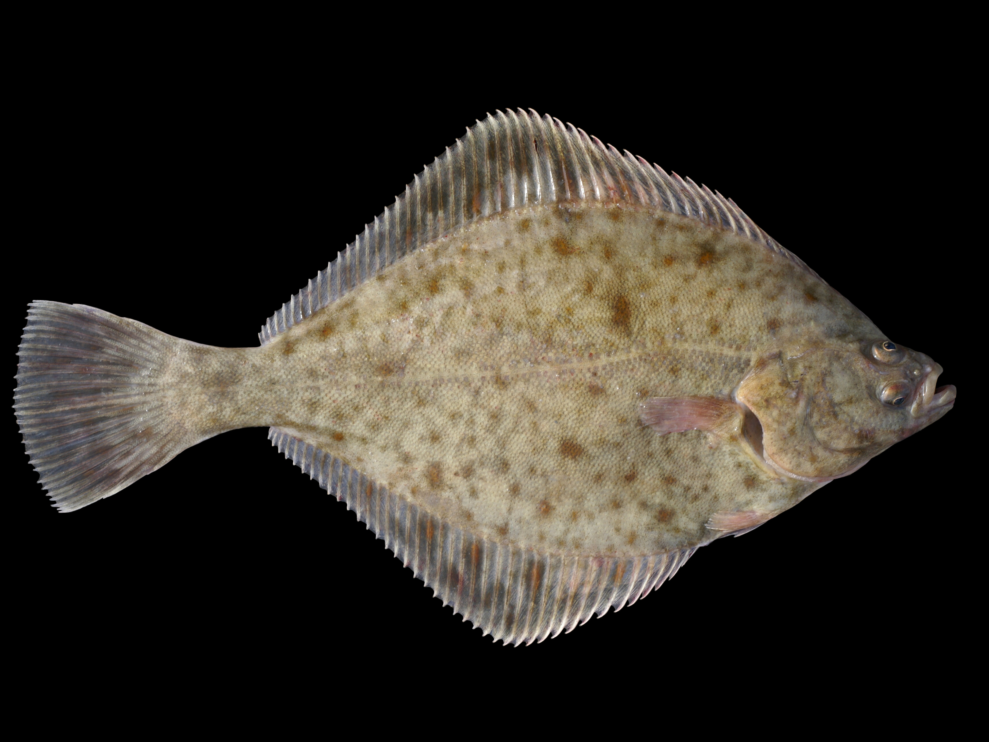European flounder wallpaper
