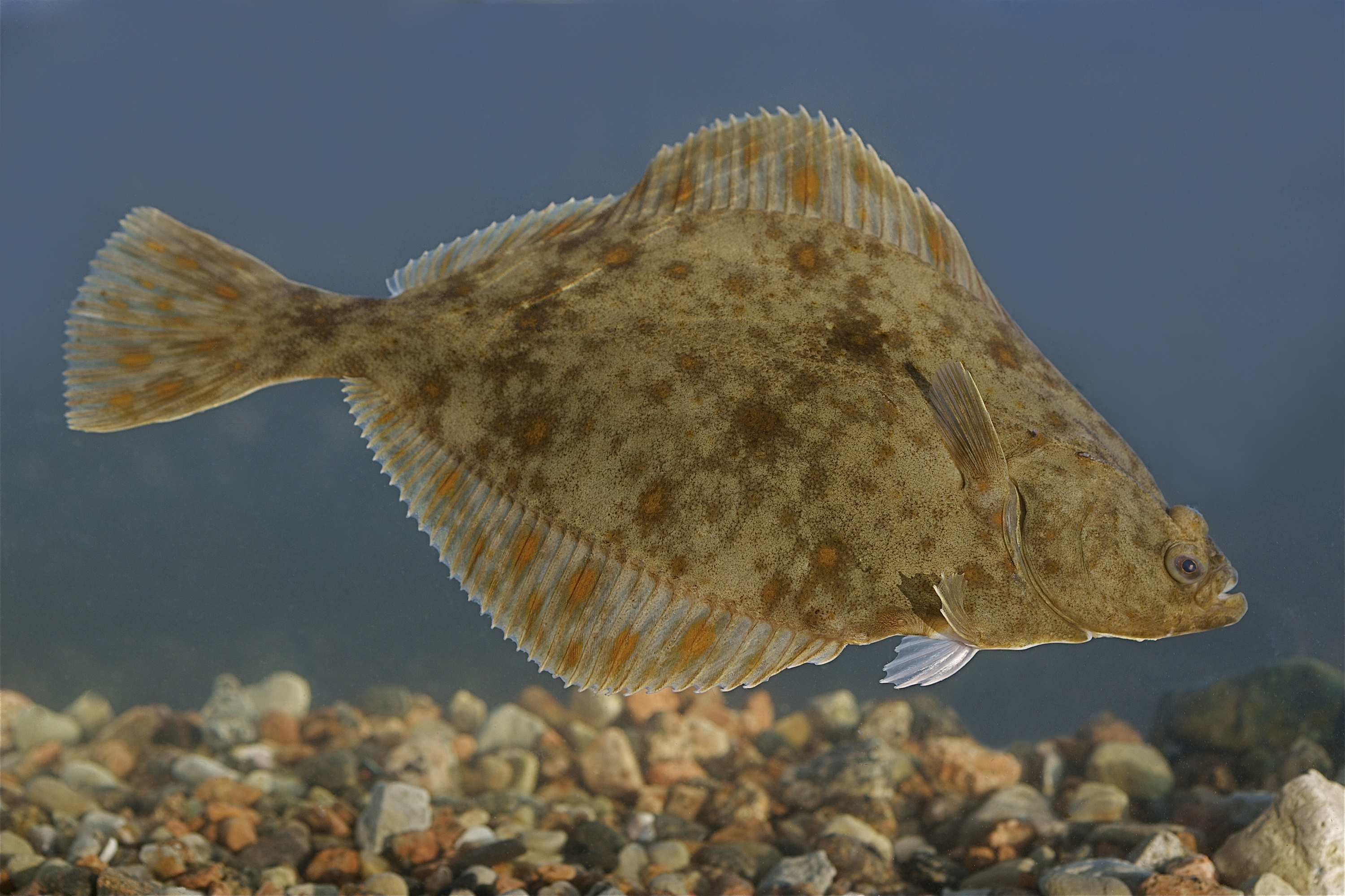 European flounder photo and wallpaper cute european for Picture of a flounder fish