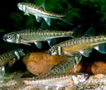 European minnows