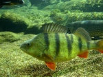 European perch in aquarium