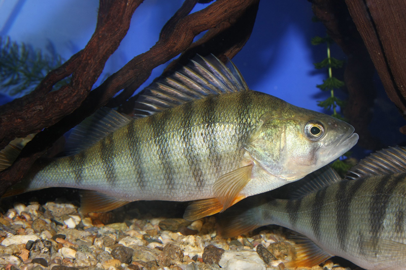 European perch on ther rocks wallpaper