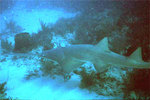 Evening Smalltooth sawfish